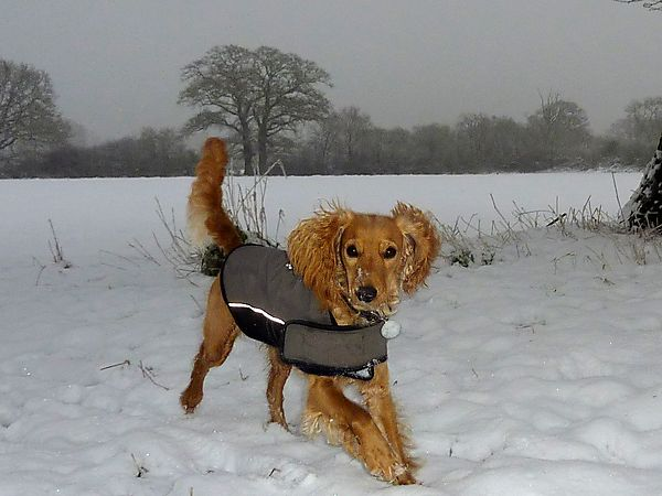 Cockapoo loving the snow