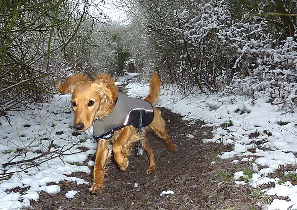 Marley out on walkies in the snow