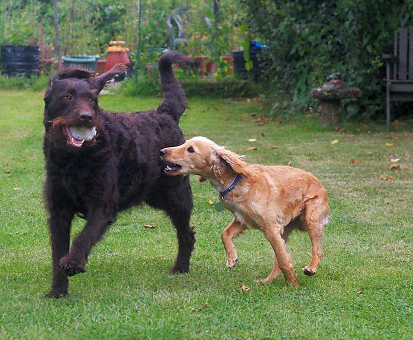 Cockapoo and Labrador