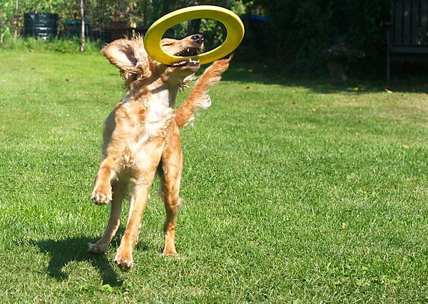 Frisbee is for dogs