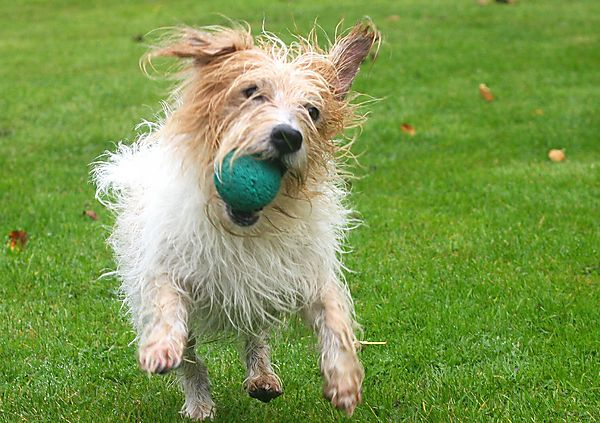 Terrier playing ball