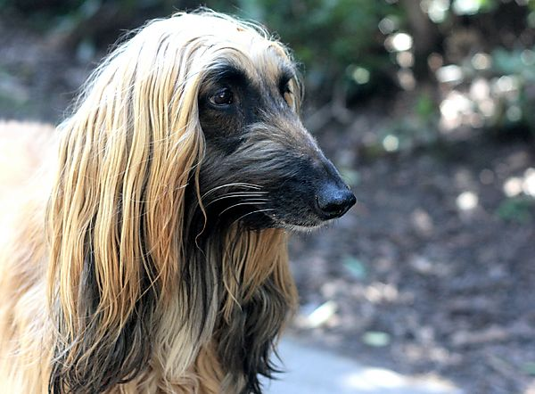 Portrait of Afghan Hound