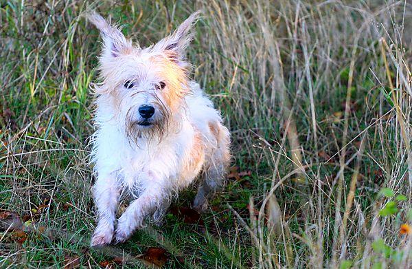 Terrier Billy - fun on walkies