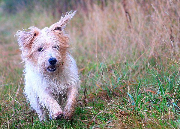 Terrier Billy