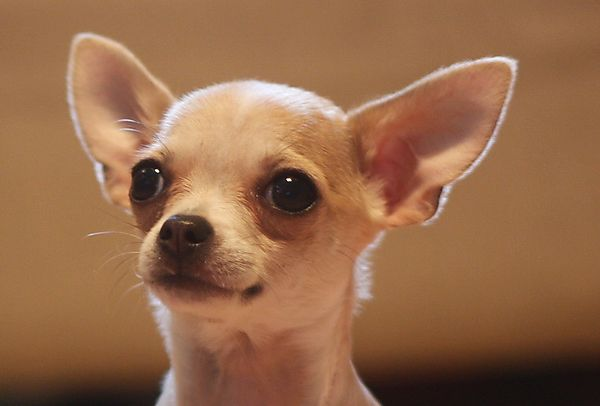Portrait of Chihuahua  Puppy BB
