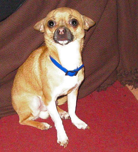 Chihuahua Warzie