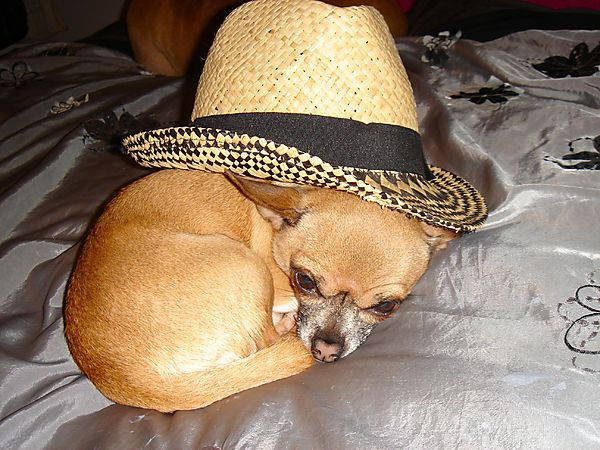 Warzie the Chihuahua