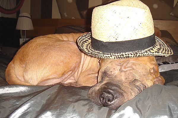 Shar Pei Presco Snoozing