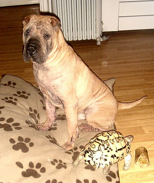 Presco the Shar Pei with Corby