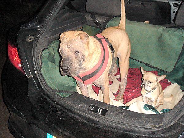 Presco & Warzie our Shar-Pei and Chihuahua