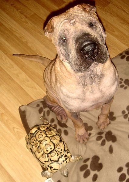 Shar Pei, Presco with African Tortoise