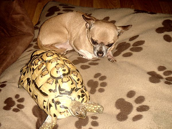 Chuhuahua and African Tortoise