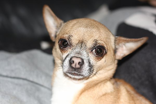 Portrait shot of Warzie the Chihuahua