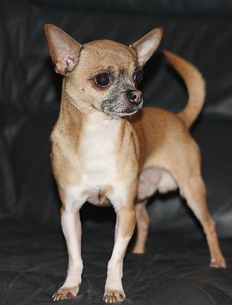 Tiny Chihuahua, Warzie