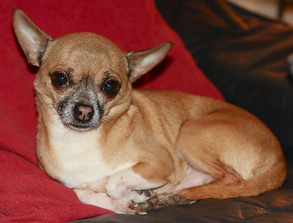Cute Chihuahua Warzie