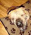 Presco the Shar Pei laughing