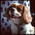 Ludo the King Charles Spaniel