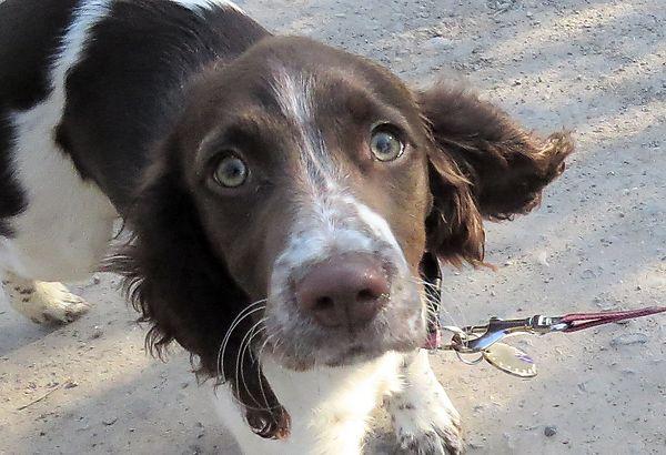 Ivy - Springer Spaniel Puppy