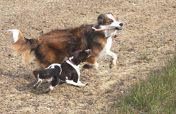 Collie and Spaniel pals