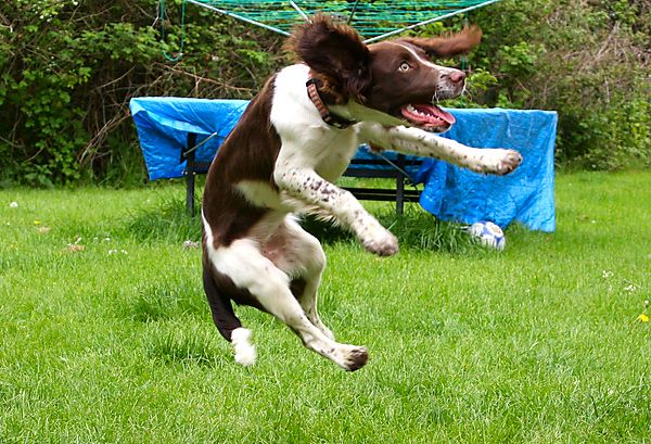 Leaping Springer Spaniel