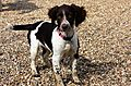 photo thumbnail Springer Spaniel Puppy