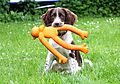 photo thumbnail Springer Spaniel Ivy