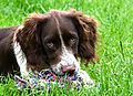 photo thumbnail Ivy the Springer looking cute