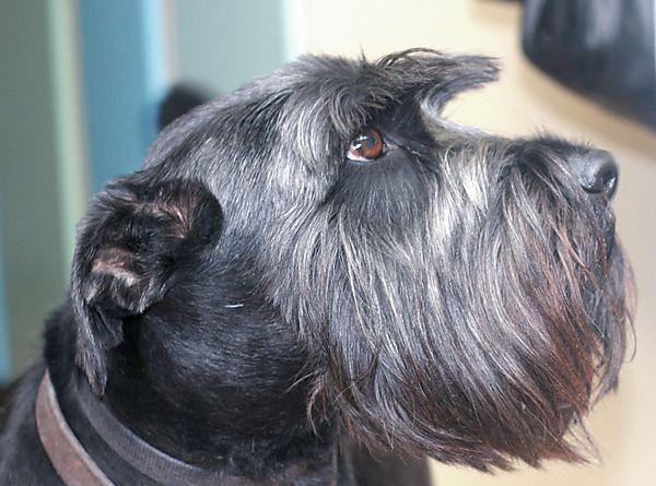 Profile of Monty the Schnauzer