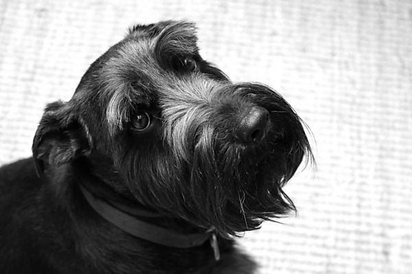 Schnauzer Monty in Black and White