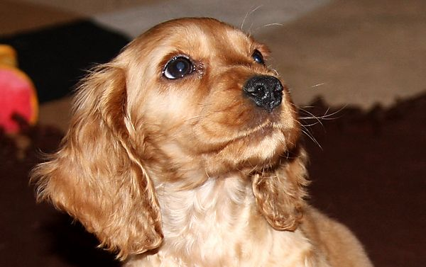 Cute Cocker Spaniel