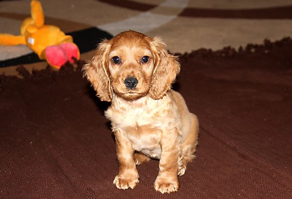 Puppy  Cocker Spaniel Ruby