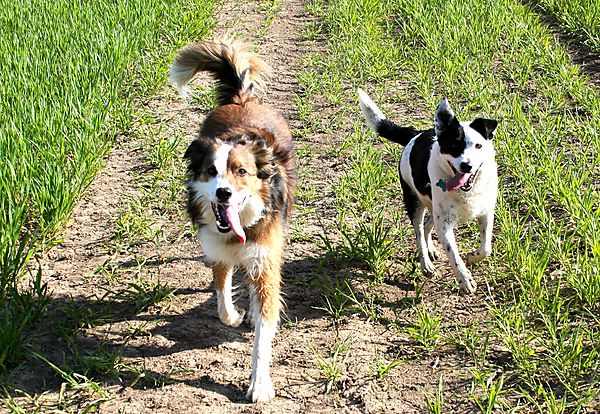 Collie and Collie Cross