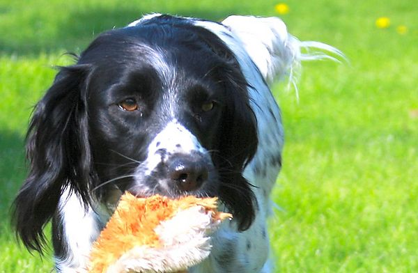 Pippa the Springer Spaniel