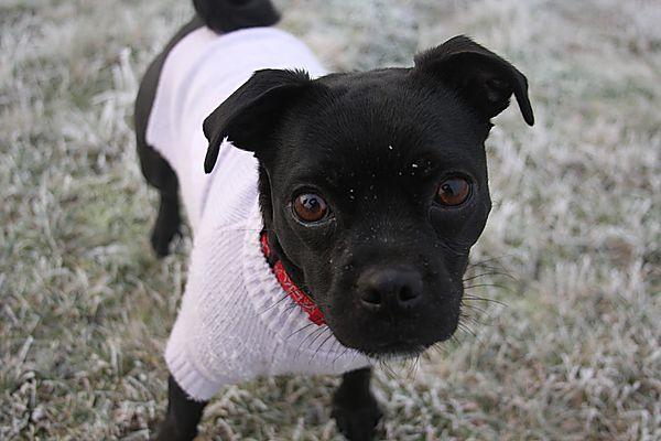 Sooty - Pug Jack Russell Cross