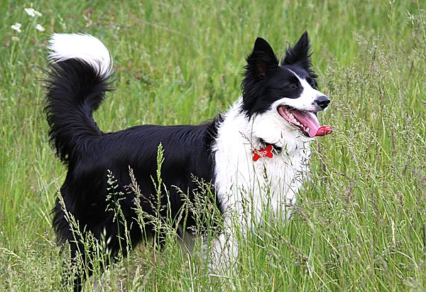 Bronte the collie