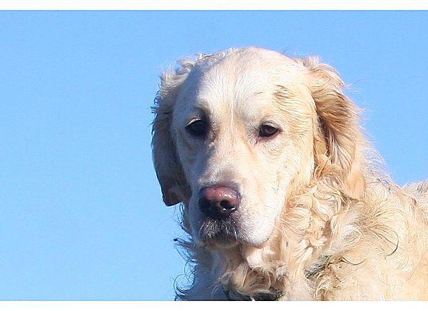 Barney Golden Retriever