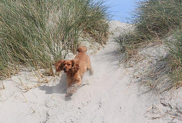 Ruby running down the dunes