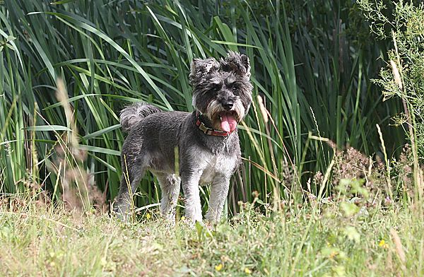 Riley the Miniature Schnauzer