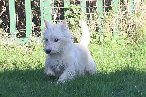 Berties, West highland terrier