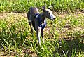 Brian the Whippet