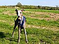 Whippet out walking