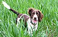 photo thumbnail Springer Spaniel