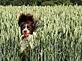 photo thumbnail Molly the Springer Spaniel