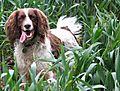 photo thumbnail Monty Springer Spaniel