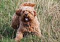photo thumbnail Playful Ziggy the Cockapoo