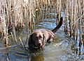 photo thumbnail You can't keep a labrador out of water