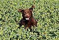 photo thumbnail Running through the crops