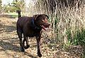photo thumbnail Chocolate Labrador Mabel