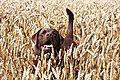 photo thumbnail Walks in the Corn Fields