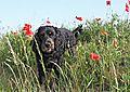 photo thumbnail Oskar amongst the poppies